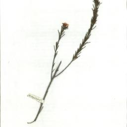 Scanned herbarium image Dillwynia sericea