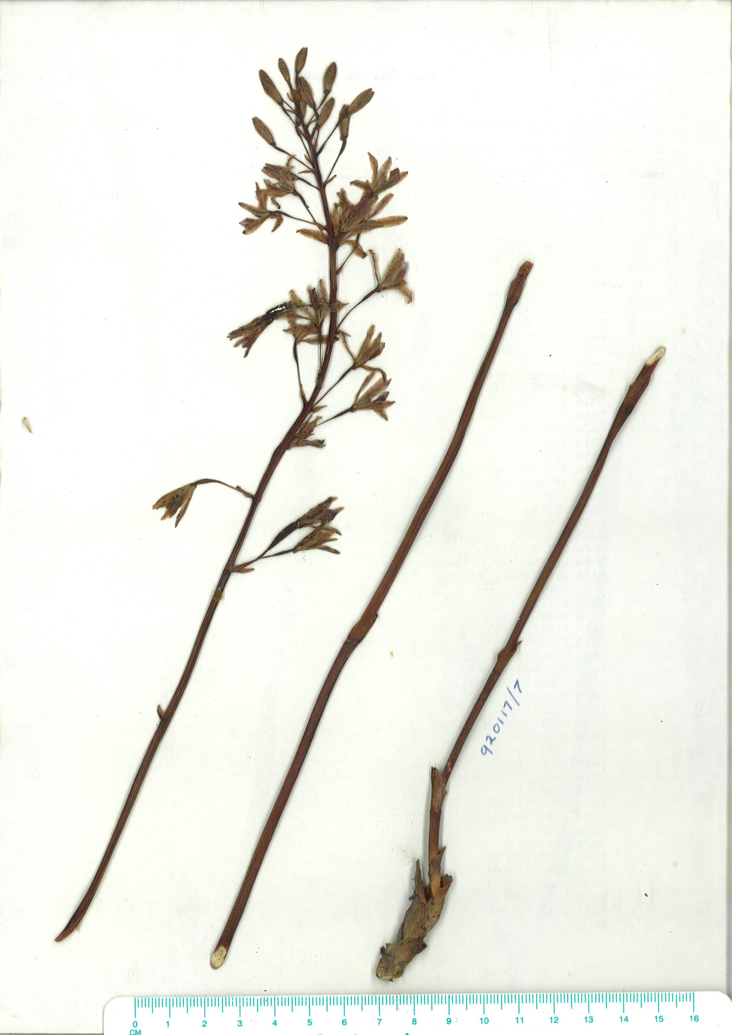 Scanned herbarium image Dipodium punctatum