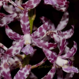 Image courtesy of Steve Burrows Dipodium variegatum