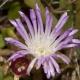 Image courtesy of Steve Burrows Disphyma crassifoliumsubsp-clavellatum