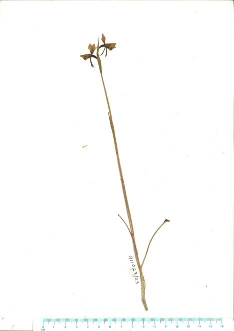 Scanned herbarium image Diuris sulphurea