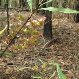 Image courtesy of Plant Database Dodonaea_truncatiales