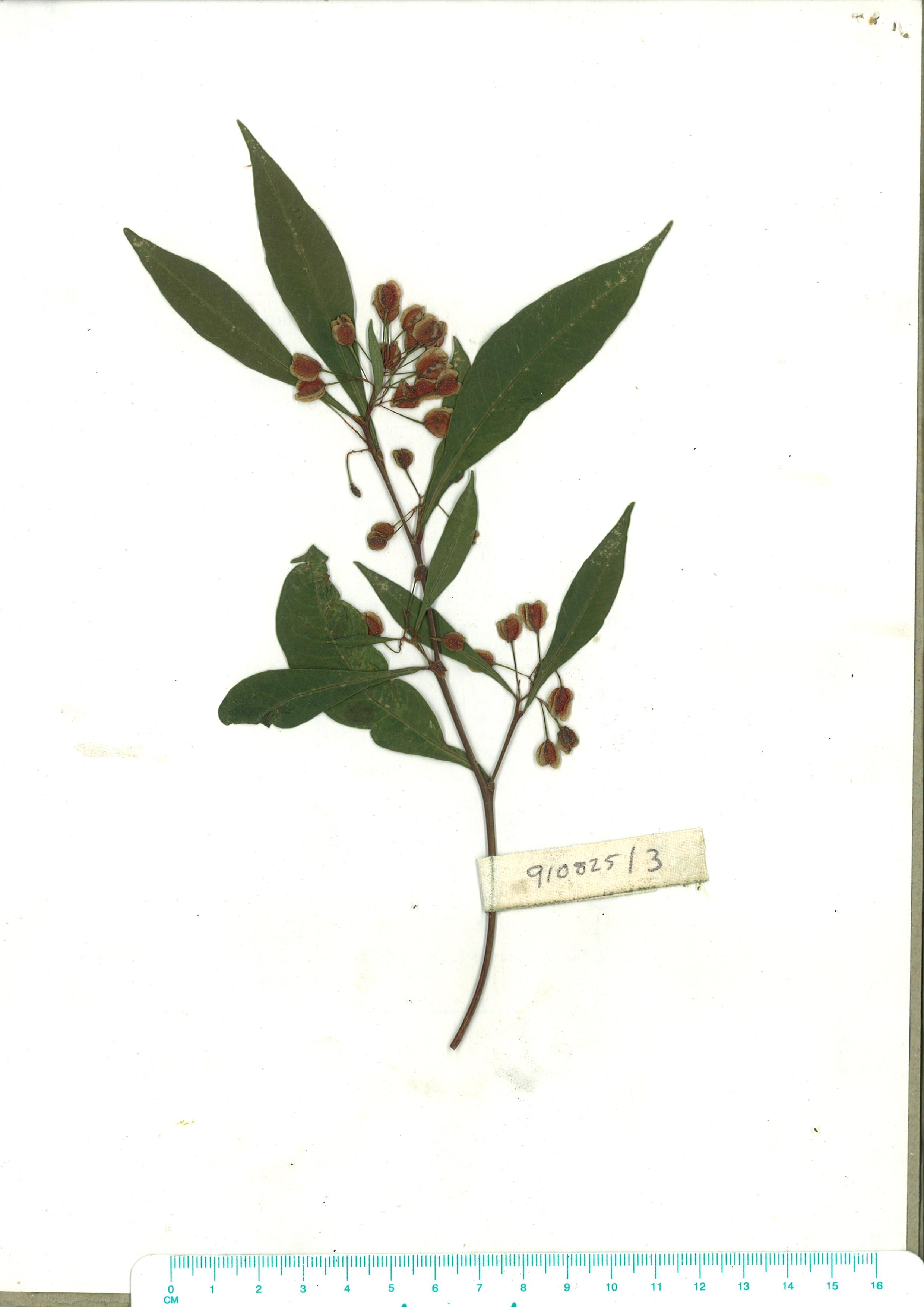 Scanned herbarium image Dodonaea triquetra