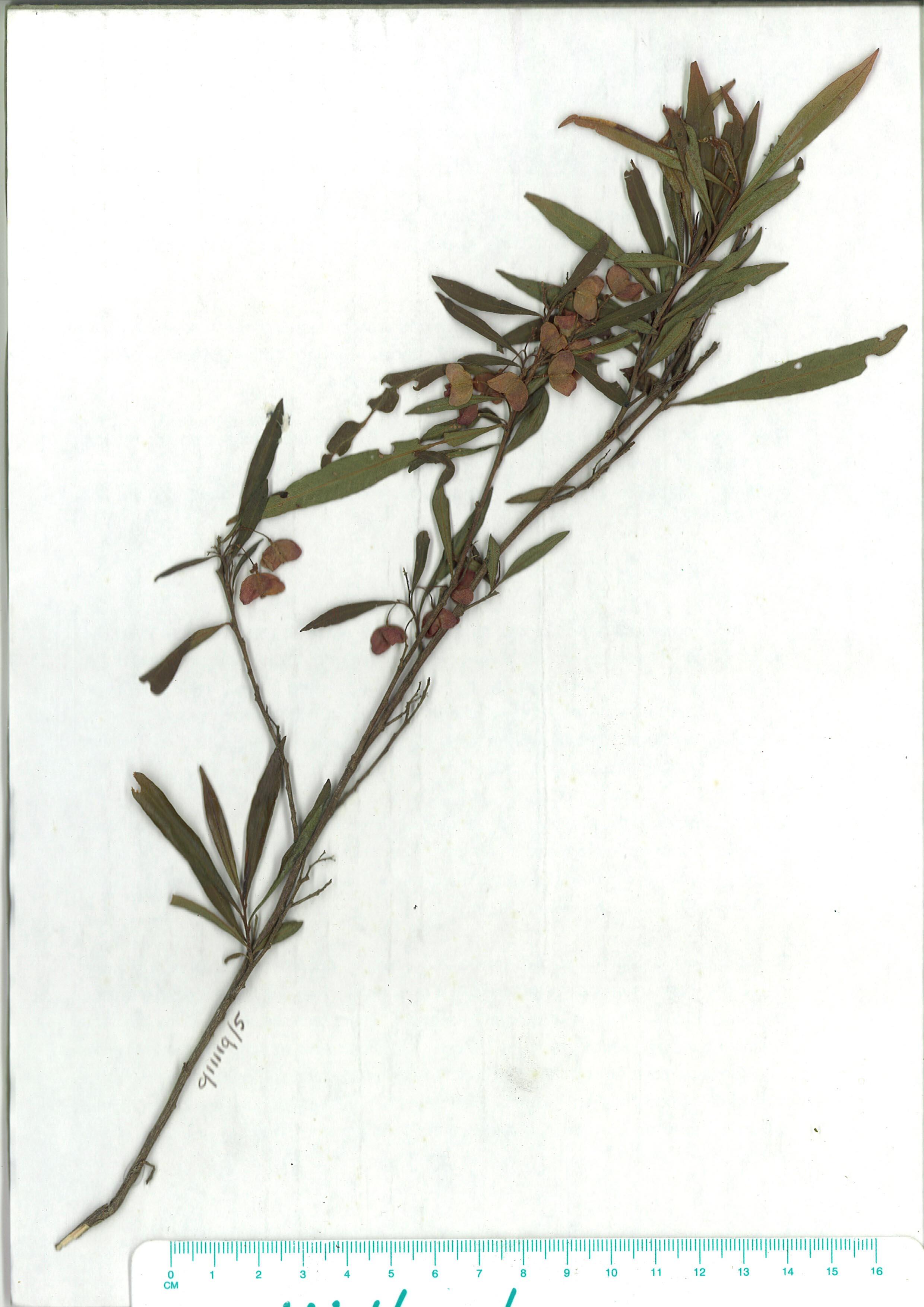 Scanned herbarium image Dodonaea truncatiales