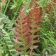 Image courtesy of Plant Database Doodia_aspera_prickly_rasp_fern