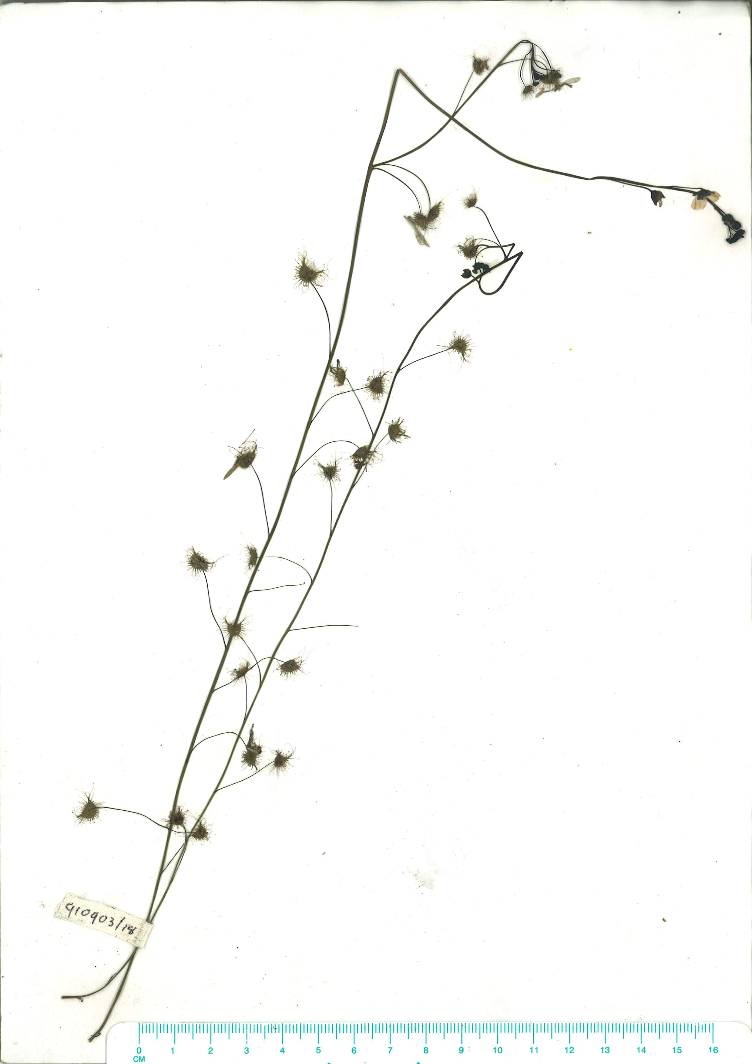 Scanned herbarium image Drosera auriculata