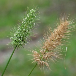 Image courtesy Plant Database Echinopogon_ovatus_forest_hedgehog_grass