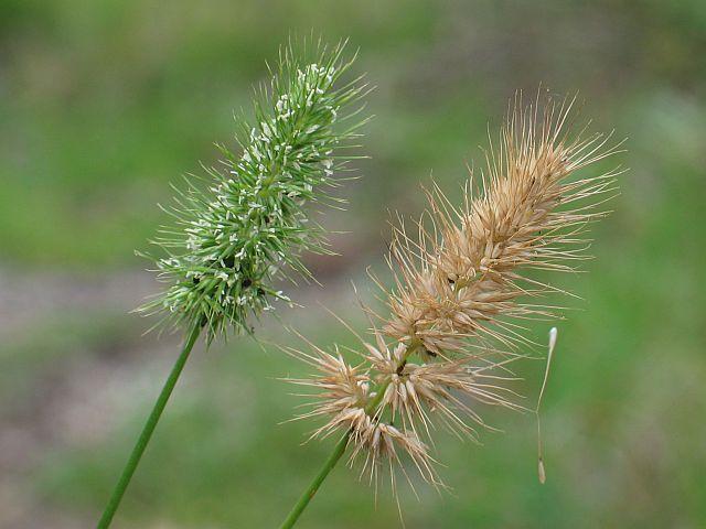 Image courtesy Plant Database Echinopogon_ovatus_forest_hedgehog_grass
