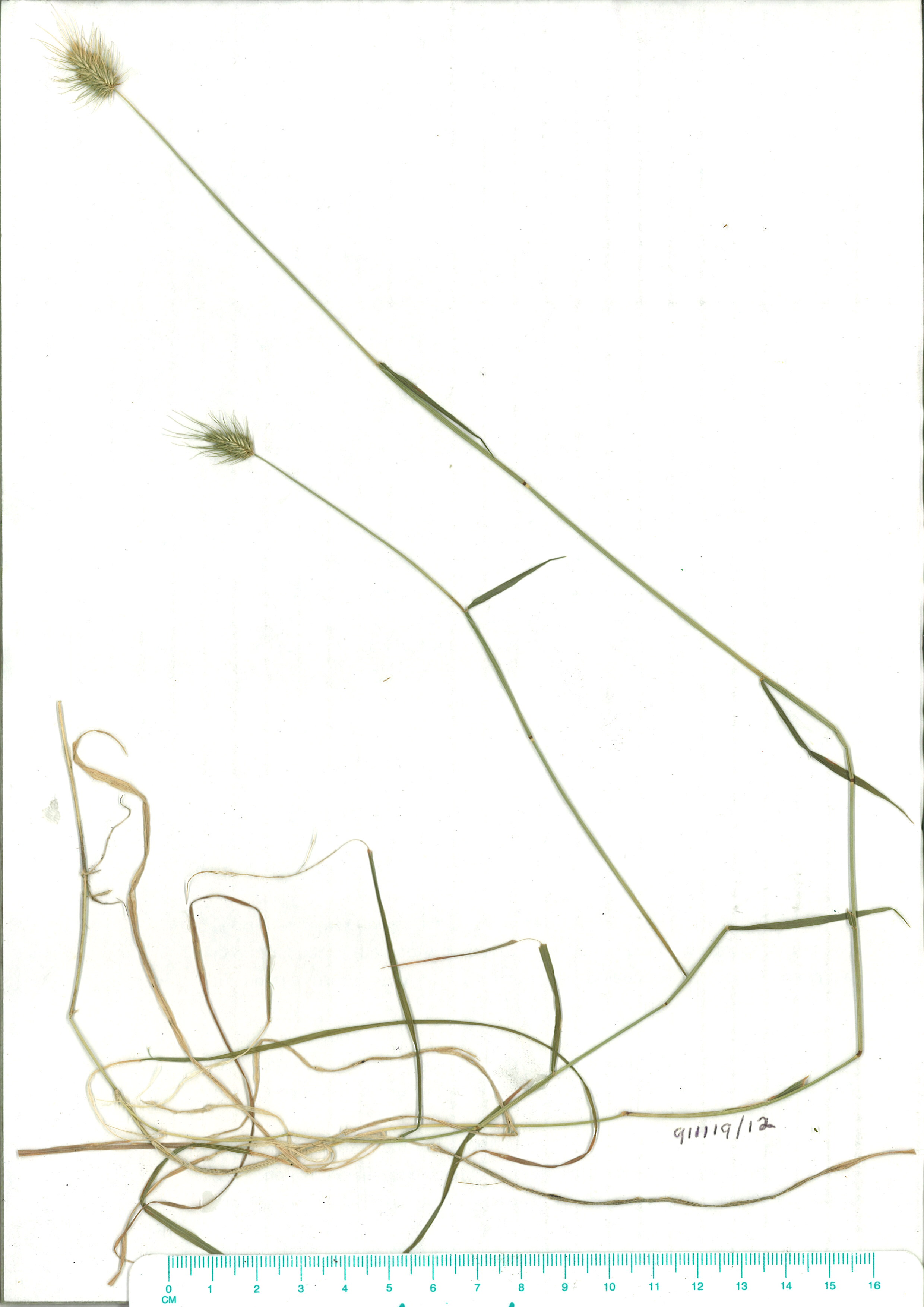 Scanned herbarium image Echinopogon ovatus