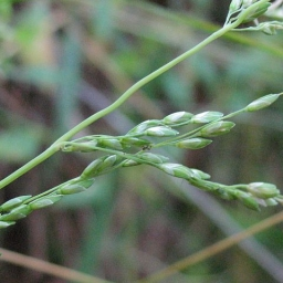 Image courtesy Plant Database Ehrharta_erecta_veldt_grass