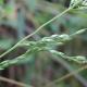 Image courtesy Plant Database Ehrharta_erecta_veldt_grass
