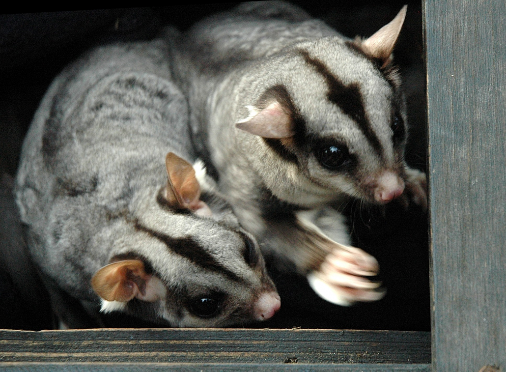 sugar-gliders-image-courtesy-abc NSW