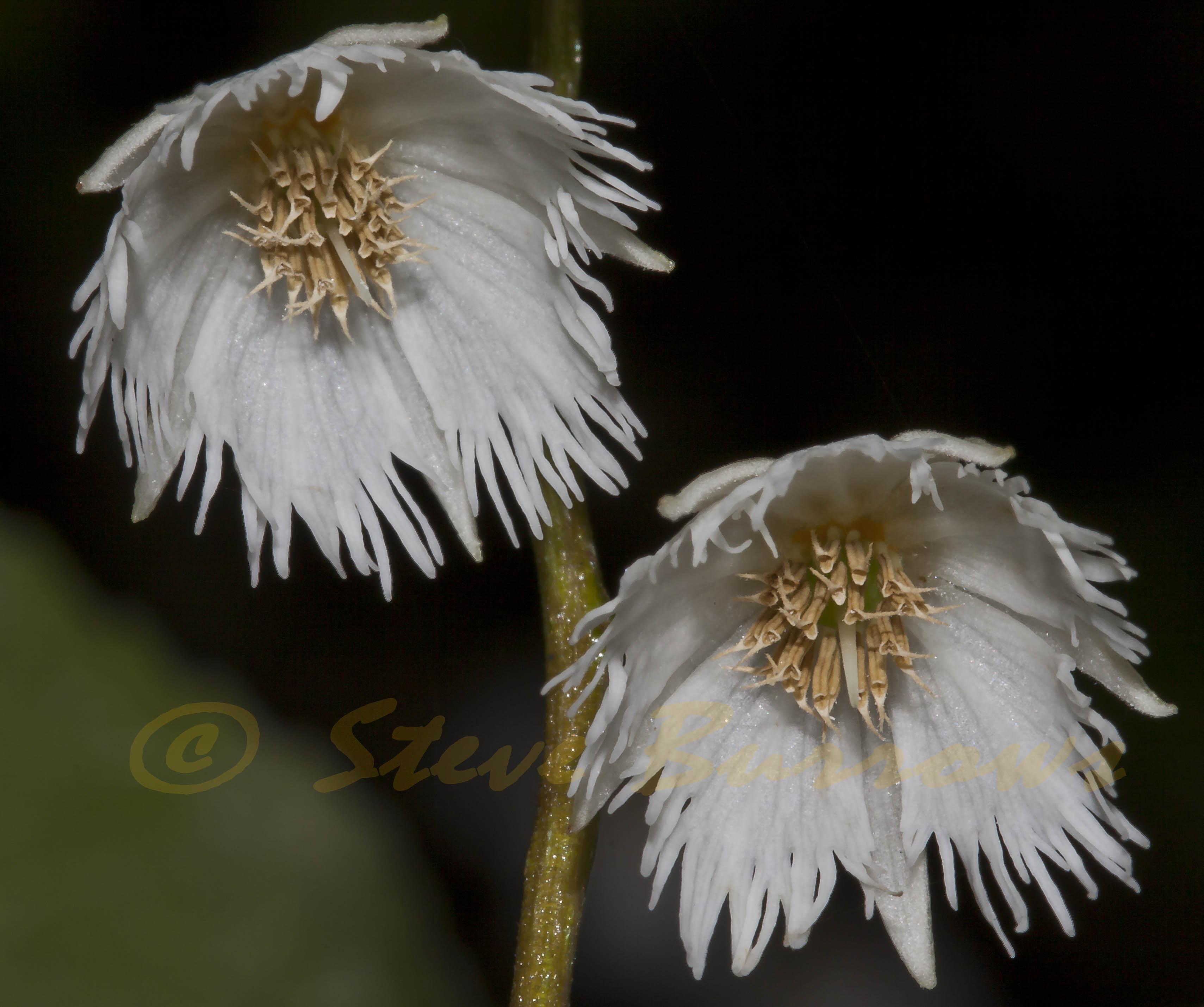 Image courtesy of Steve Burrows Elaeocarpus reticulatus