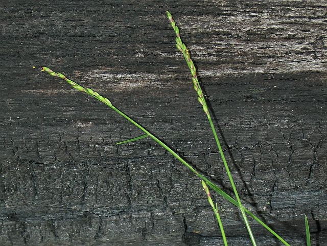 Image courtesy of Plant Database Entolasia_stricta_wiry_panic