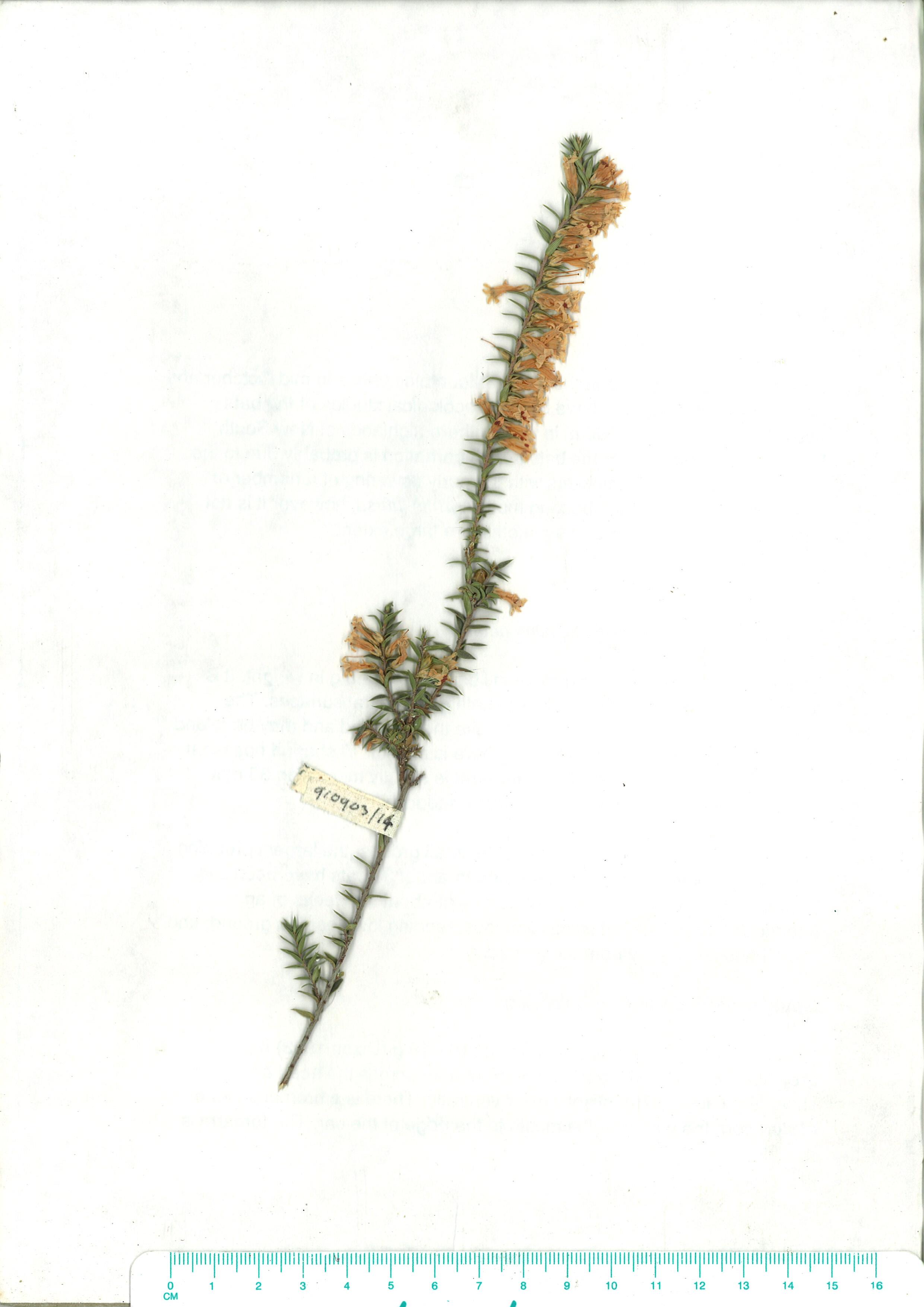 Scanned herbarium image Epacris impressa