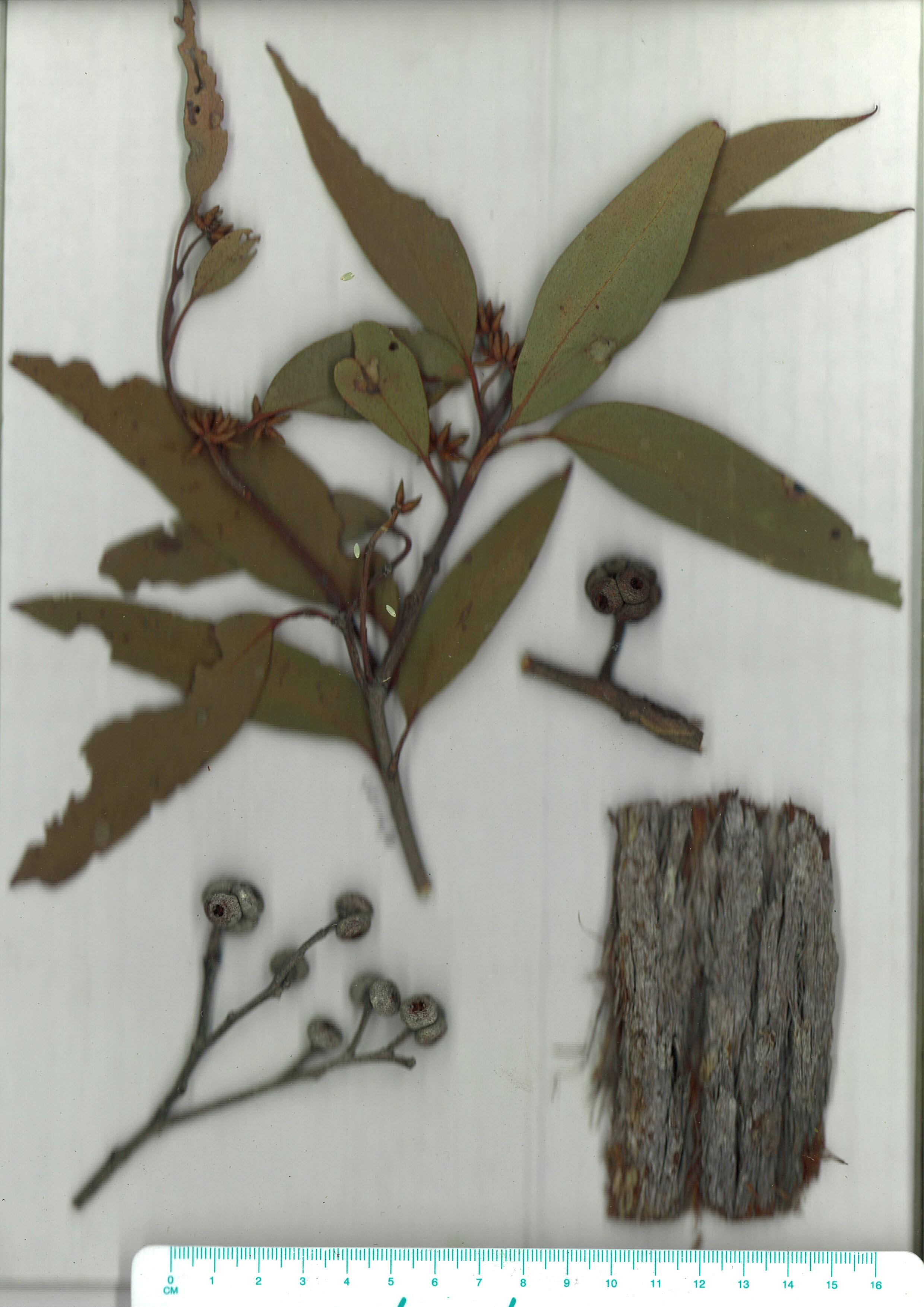 Scanned herbarium image Eucalyptus agglomerata