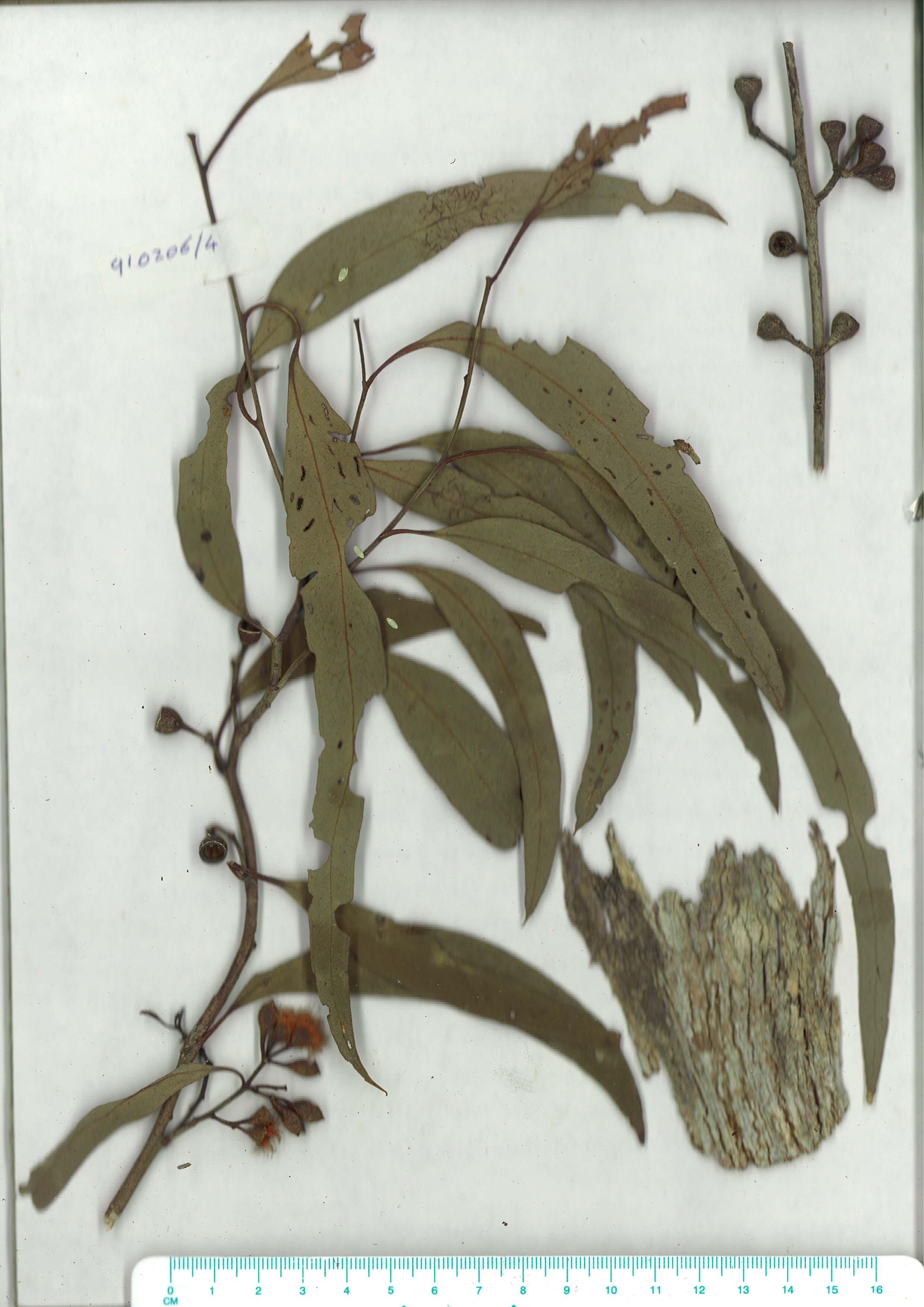Scanned herbarium image Eucalyptus bosistoana