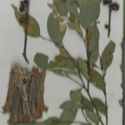 Scanned herbarium image Eucalyptus globoidea