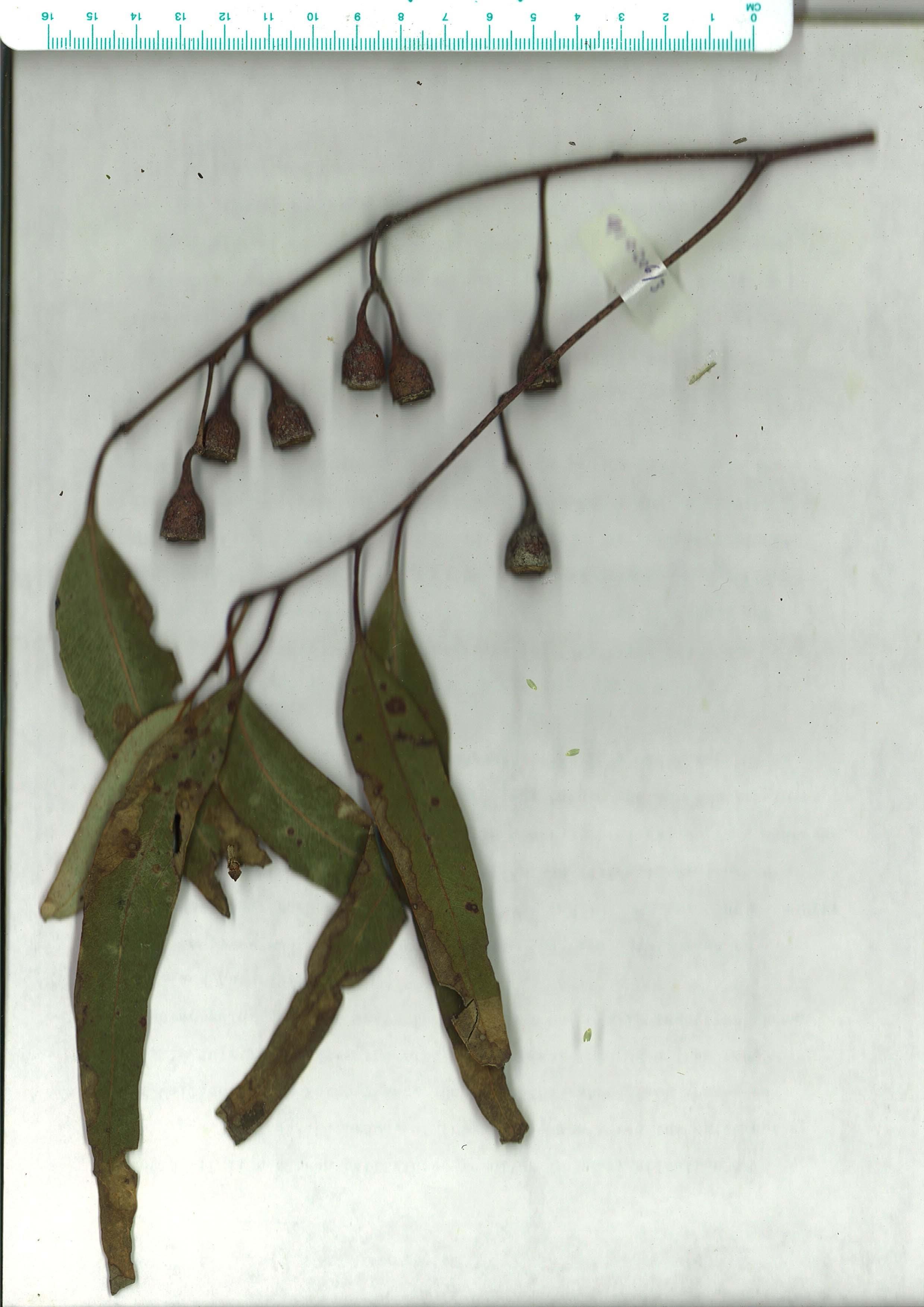 Scanned herbaruim image Eucalyptus longifolia