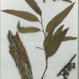 Scanned herbarium image Eucalyptus muelleriana