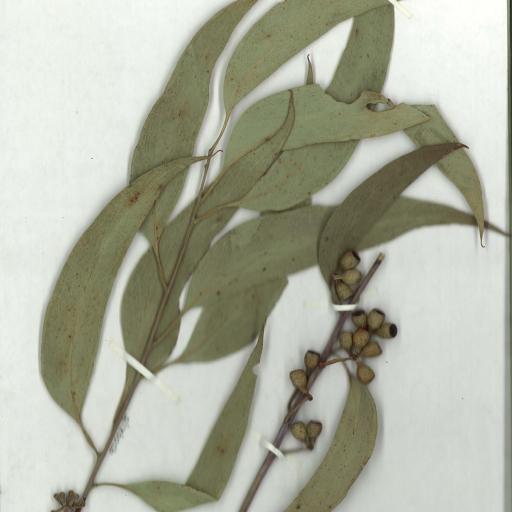Scanned herbarium image Eucalyptus sieberi