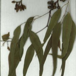 Scanned herbarium image Eucalyptus tereticornis