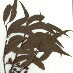 Scanned herbarium image Eucalyptus tricarpa