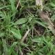 Image courtesy Plant Database Euchiton_gymnocephalus