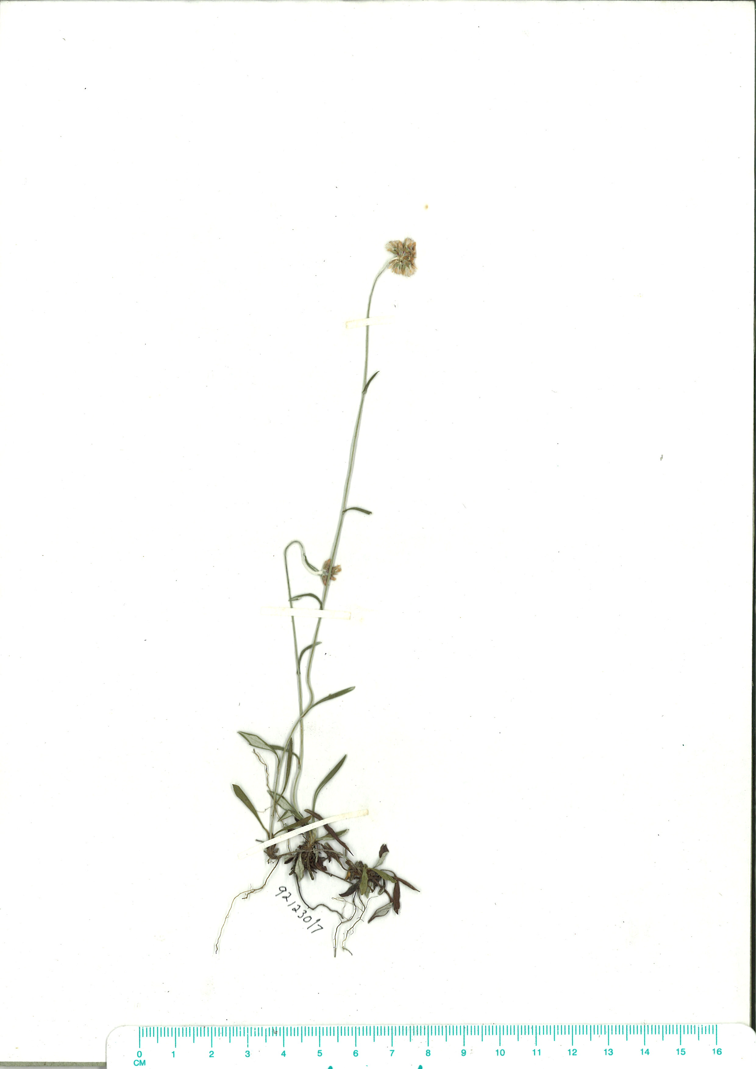 Scanned herbarium image Euchiton gymnocephalus