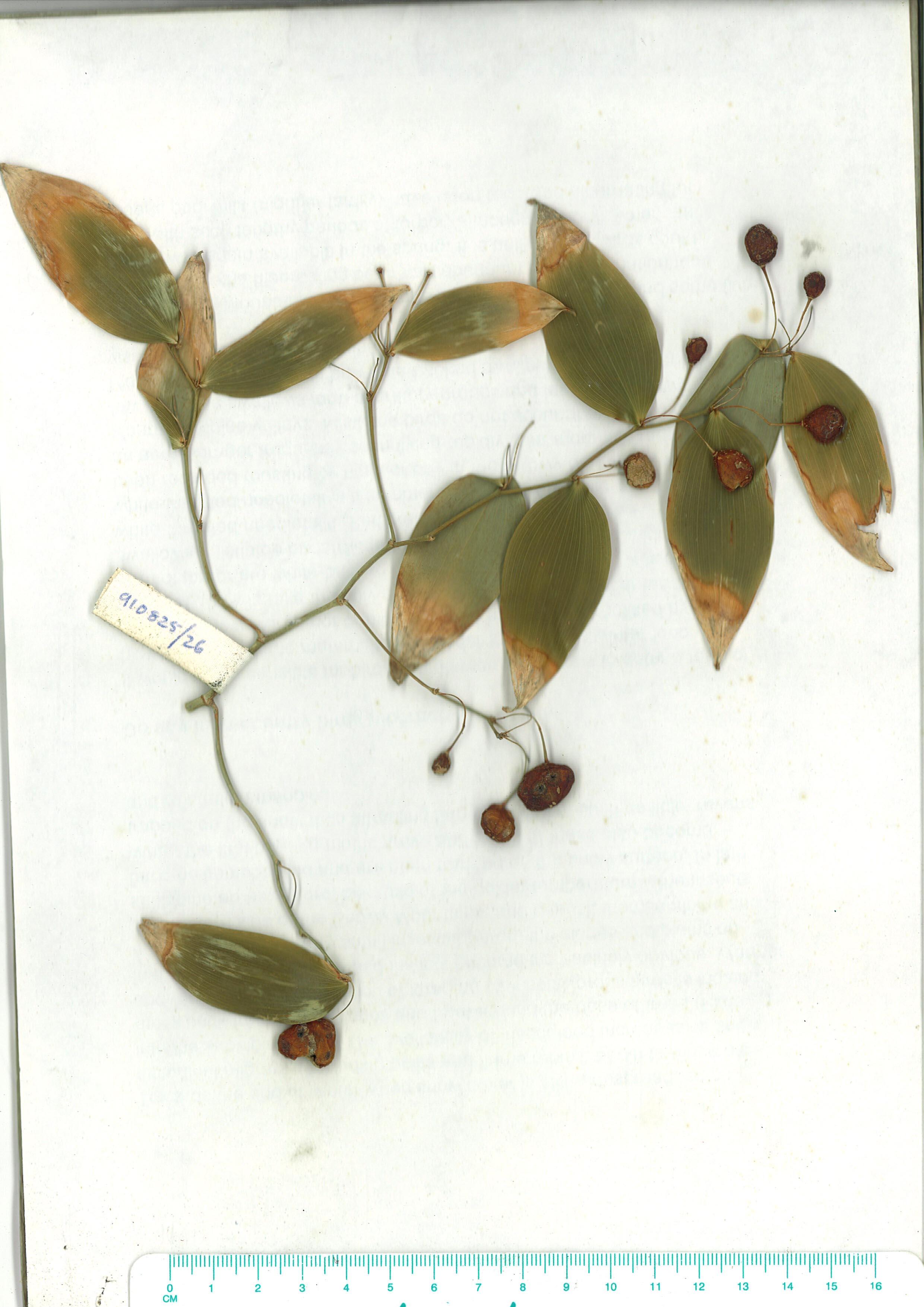 Scanned herbarium image Eustrephus latifolius