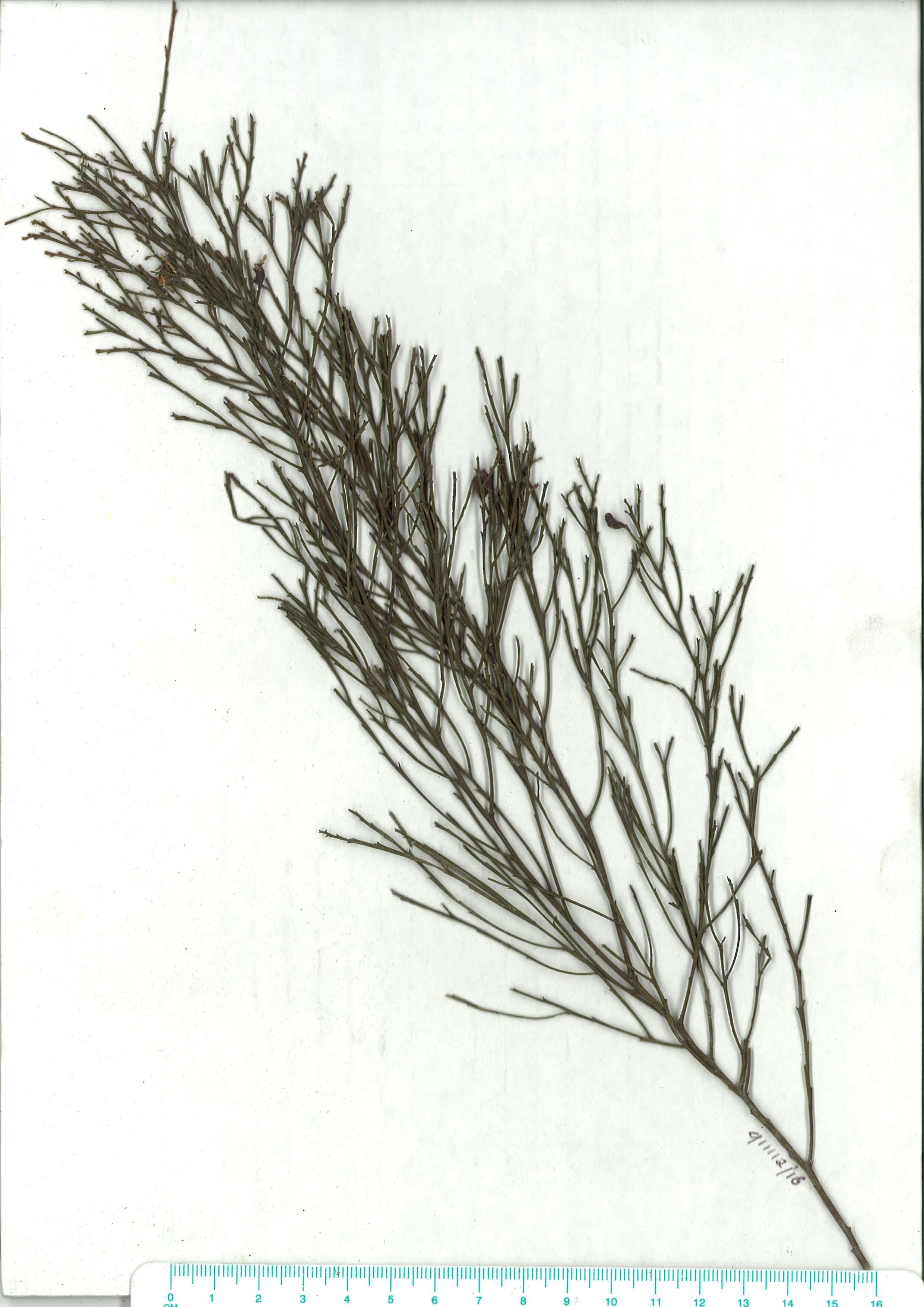 Scanned herbarium image Exocarpos cupressiformis