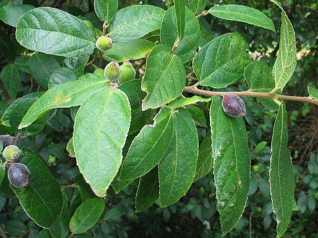 Image courtesy of Plant Database Ficus_coronata_sandpaper_fig