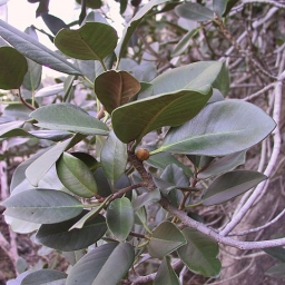 Image courtesy of Plant Database Ficus_rubiginosa_port_jackson_fig