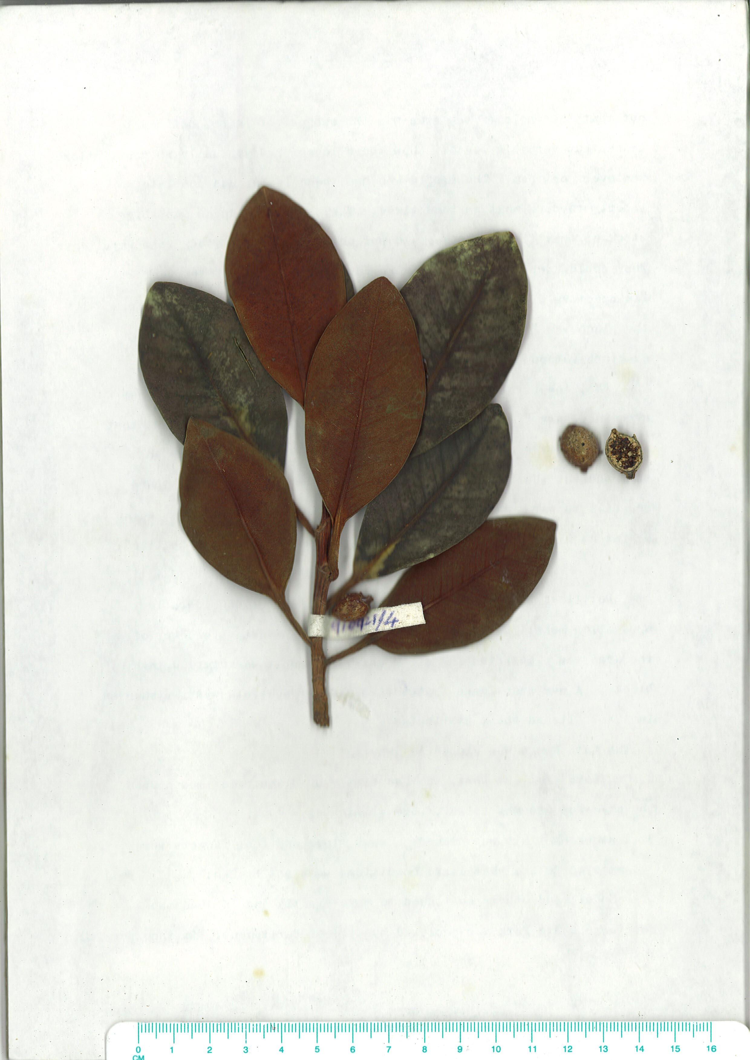 Scanned herbarium image Ficus rubiginosa