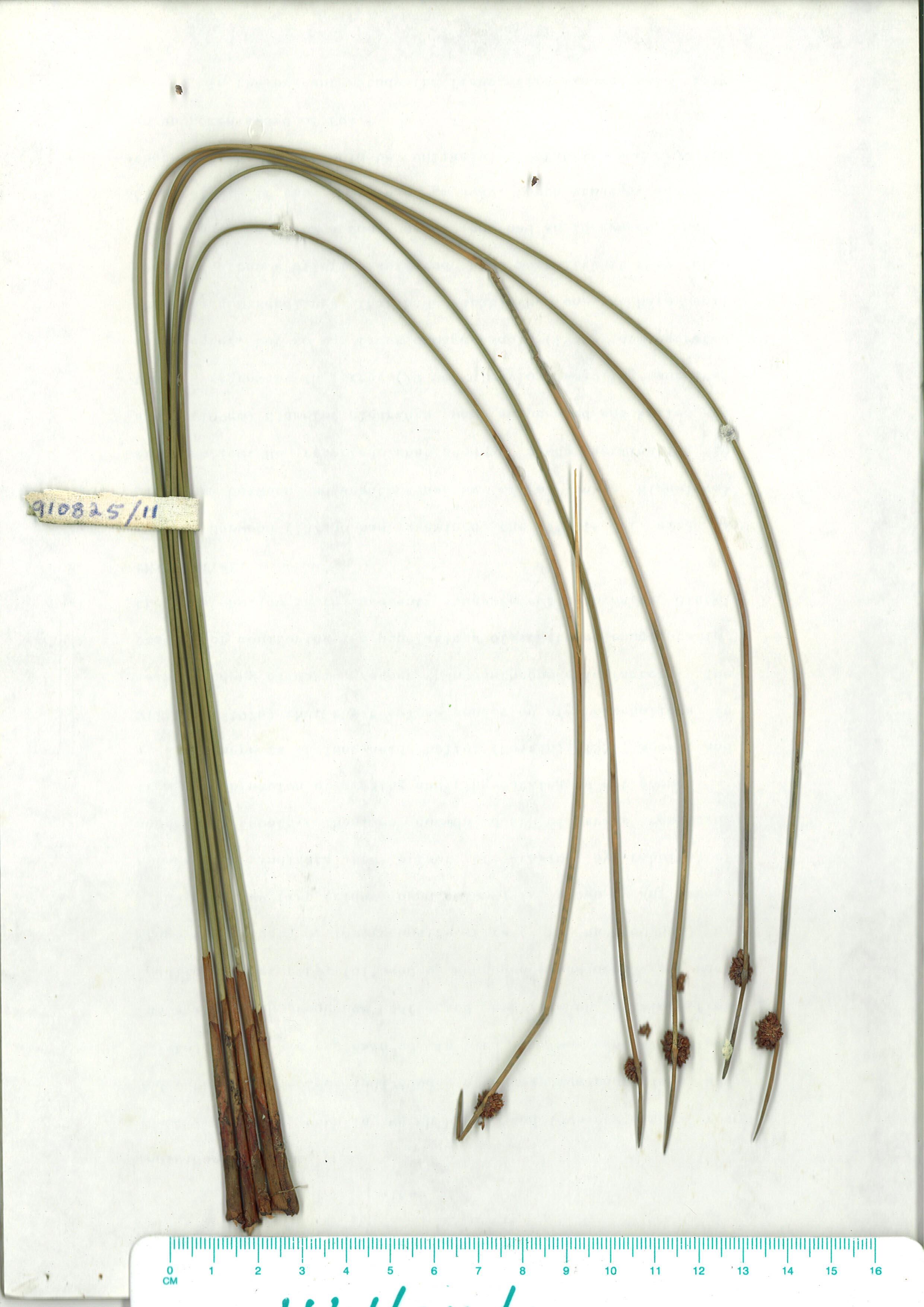 Scanned herbarium image isolebis nodosa
