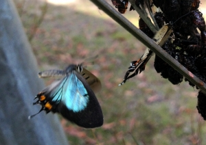 Photo by R Constable Lycaena