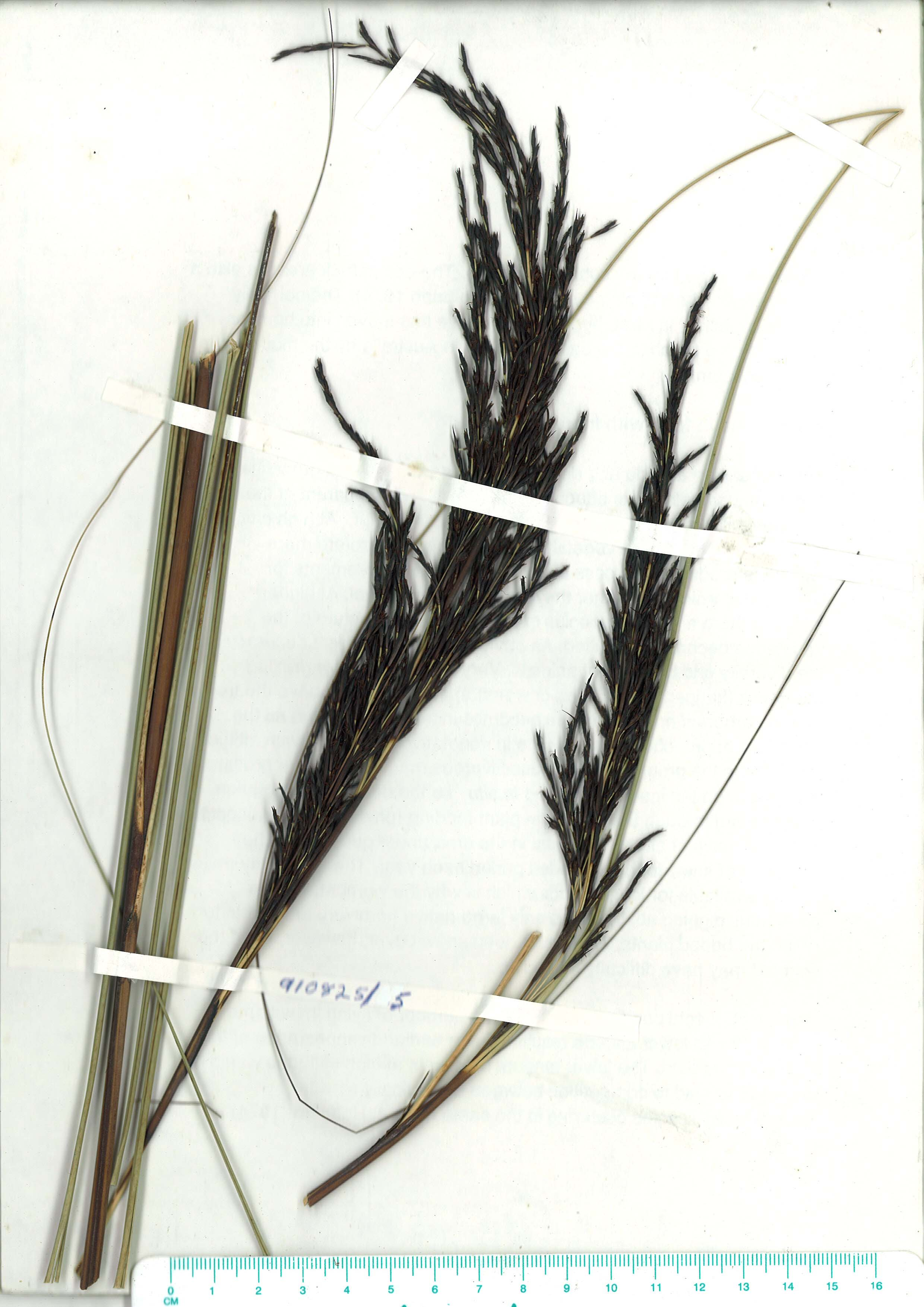 Scanned herbarium image of Gahnia radula