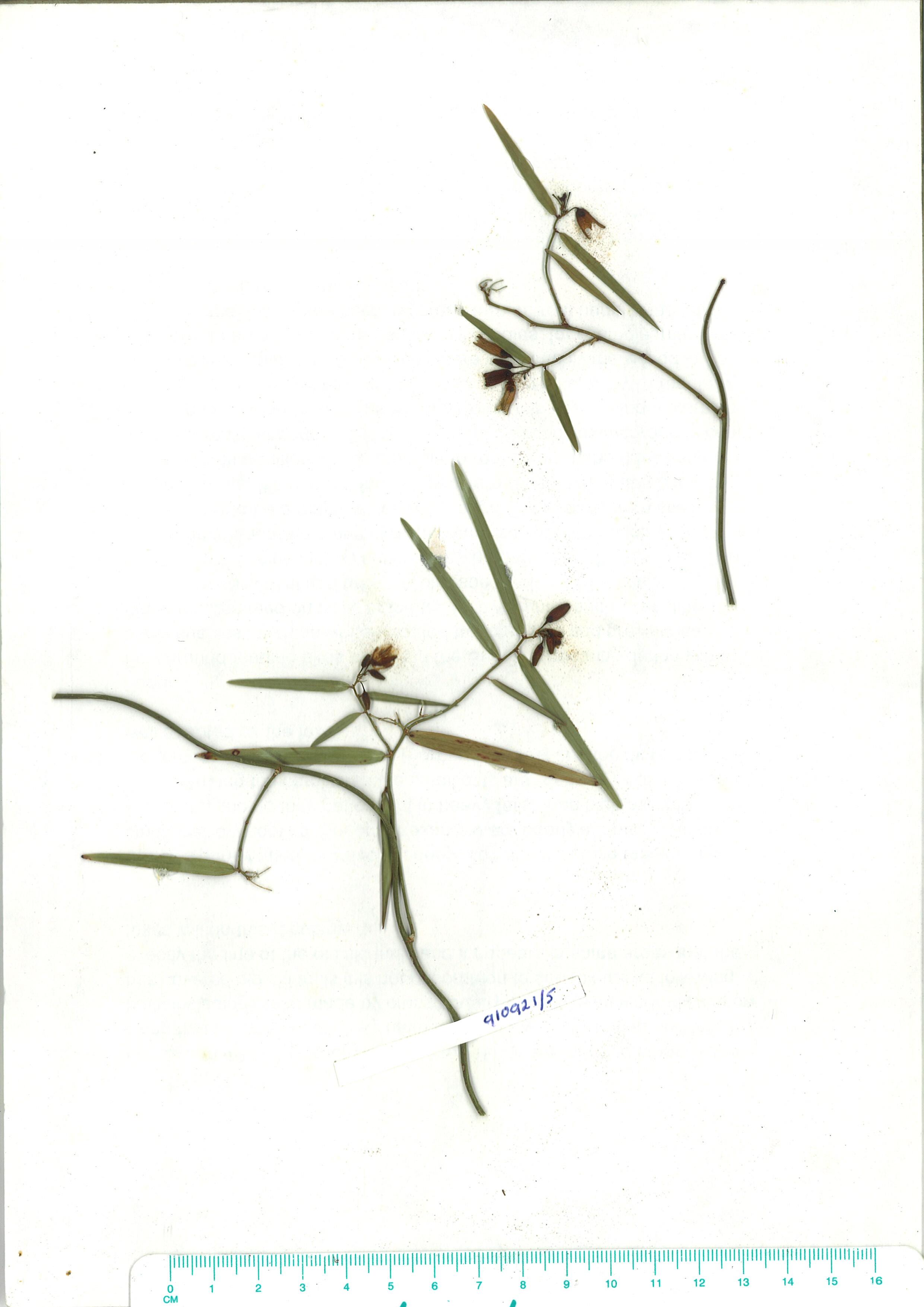 Scanned herbarium image of Geitonoplesium cymosum