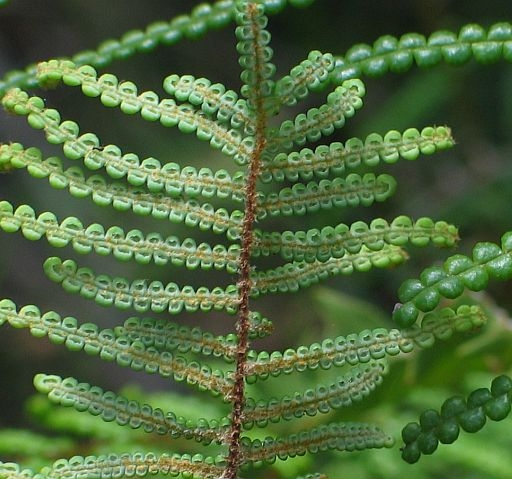 Image courtesy of Plant Database Gleichenia_dicarpa_pouched_coral_fern