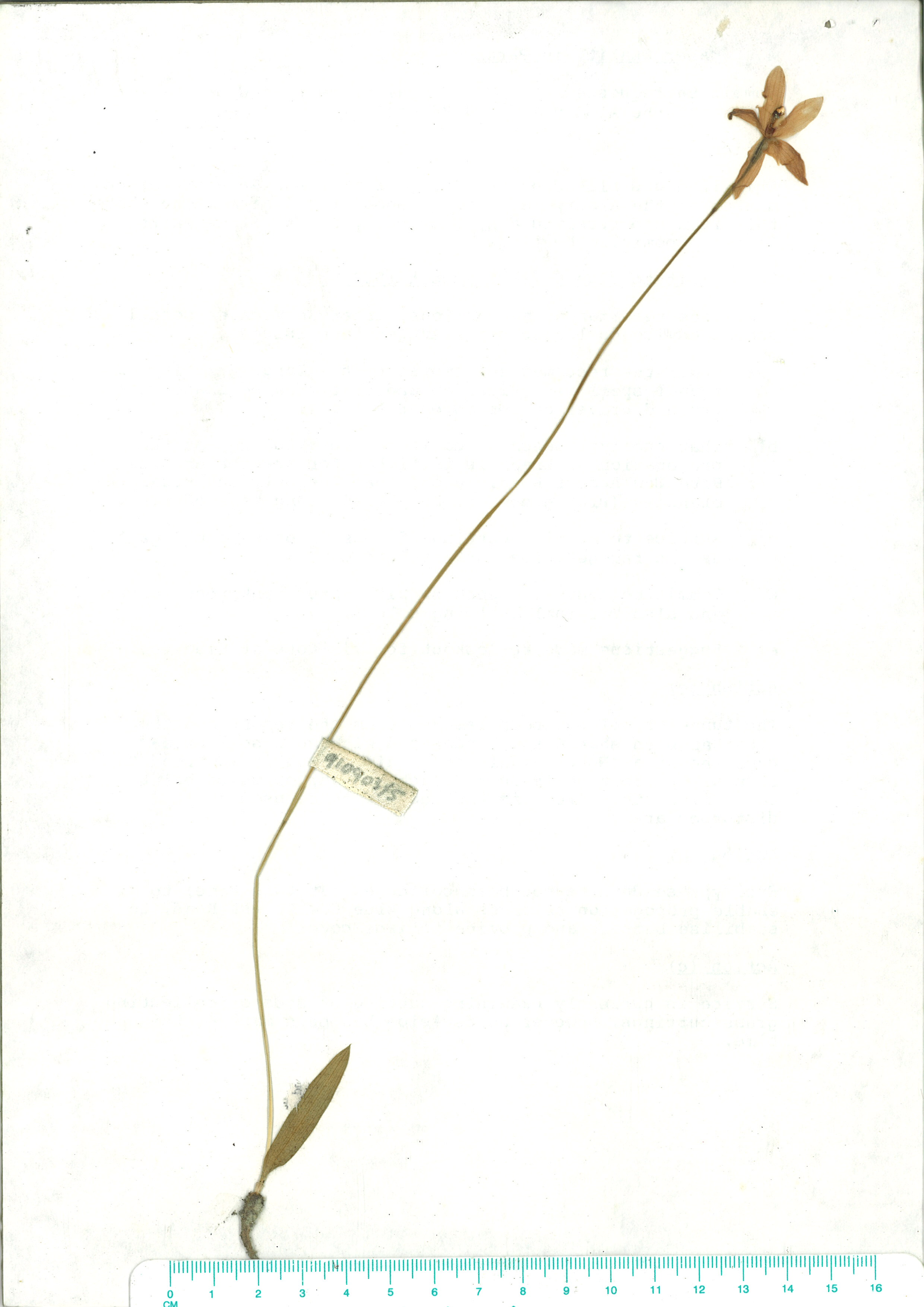 Scanned herbarium image of Glossodia major