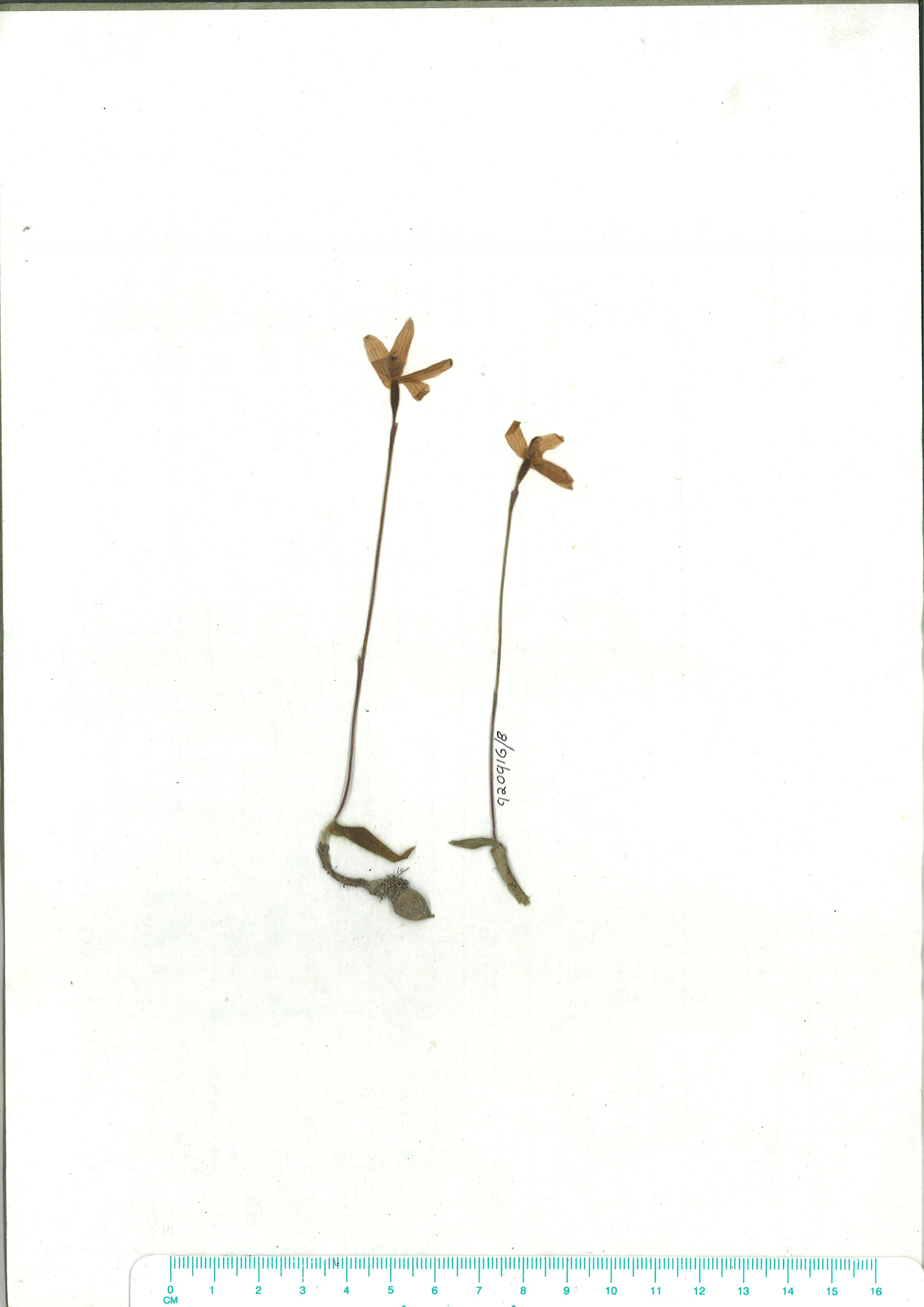 Scanned herbarium image of Glossodia minor