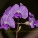 Image courtesy of Steve Burrows Glycine clandenstina