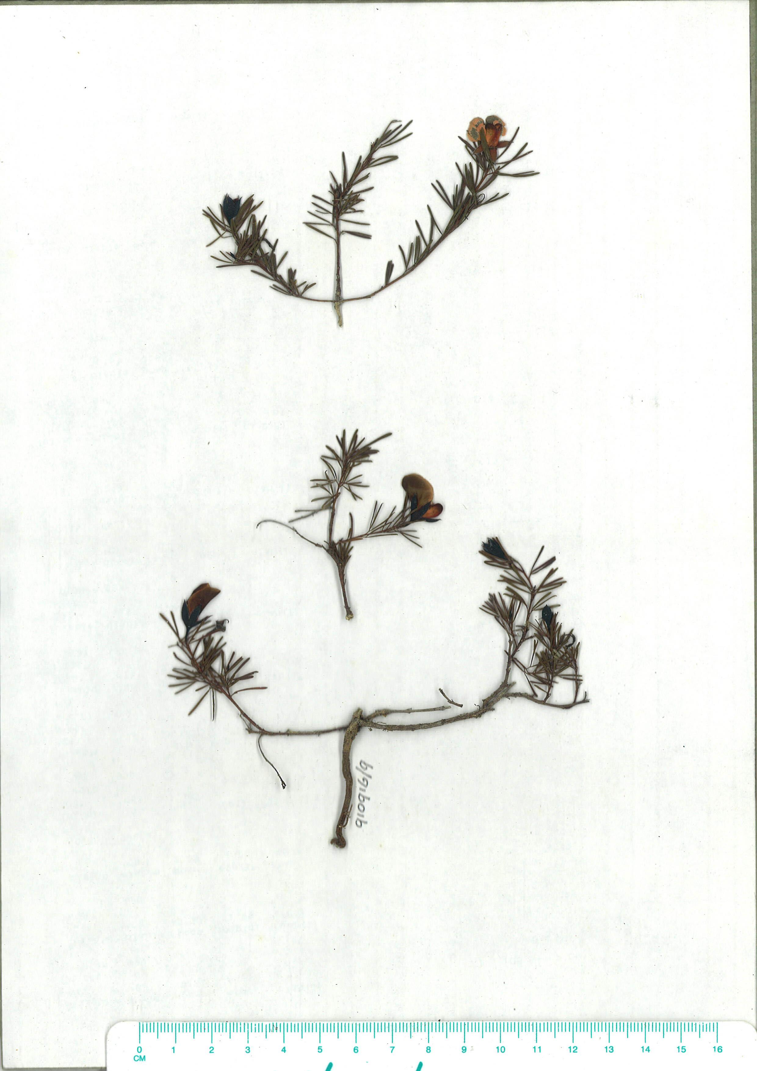 Scanned herbarium image of Gompholobium glabratum