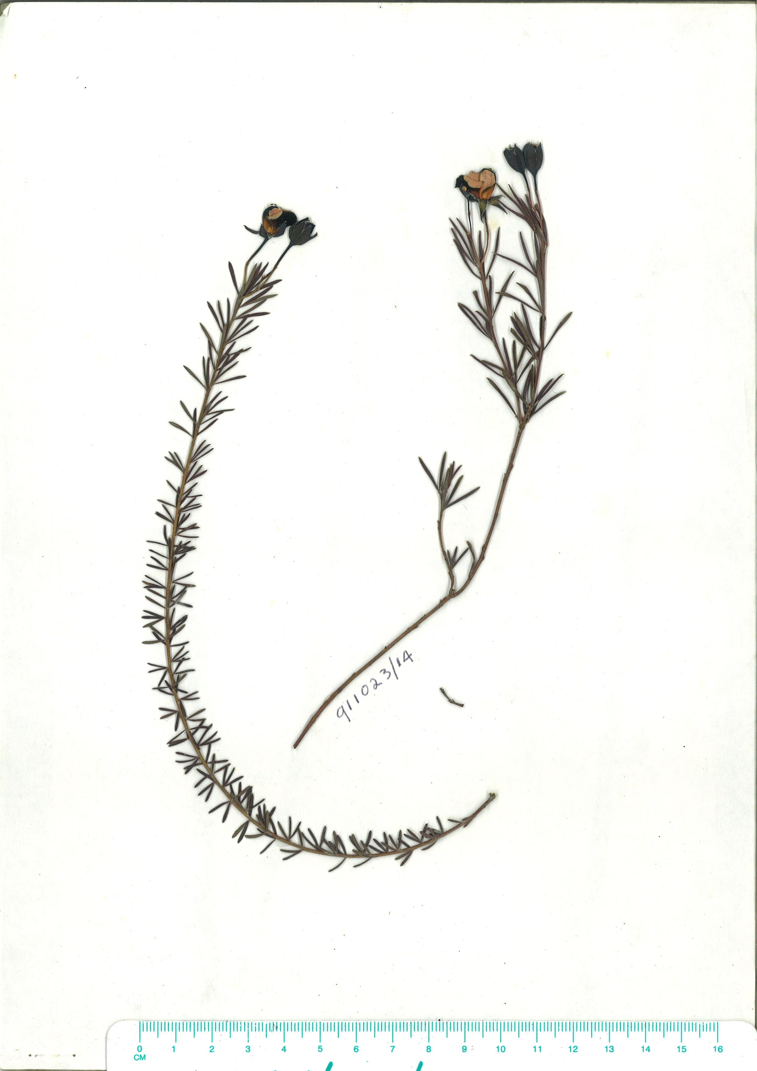 Scanned herbarium image of Gompholobium huegelii
