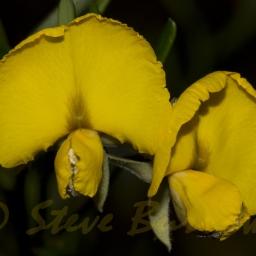 Image courtesy of Steve Burrows Gompholobium latifolium
