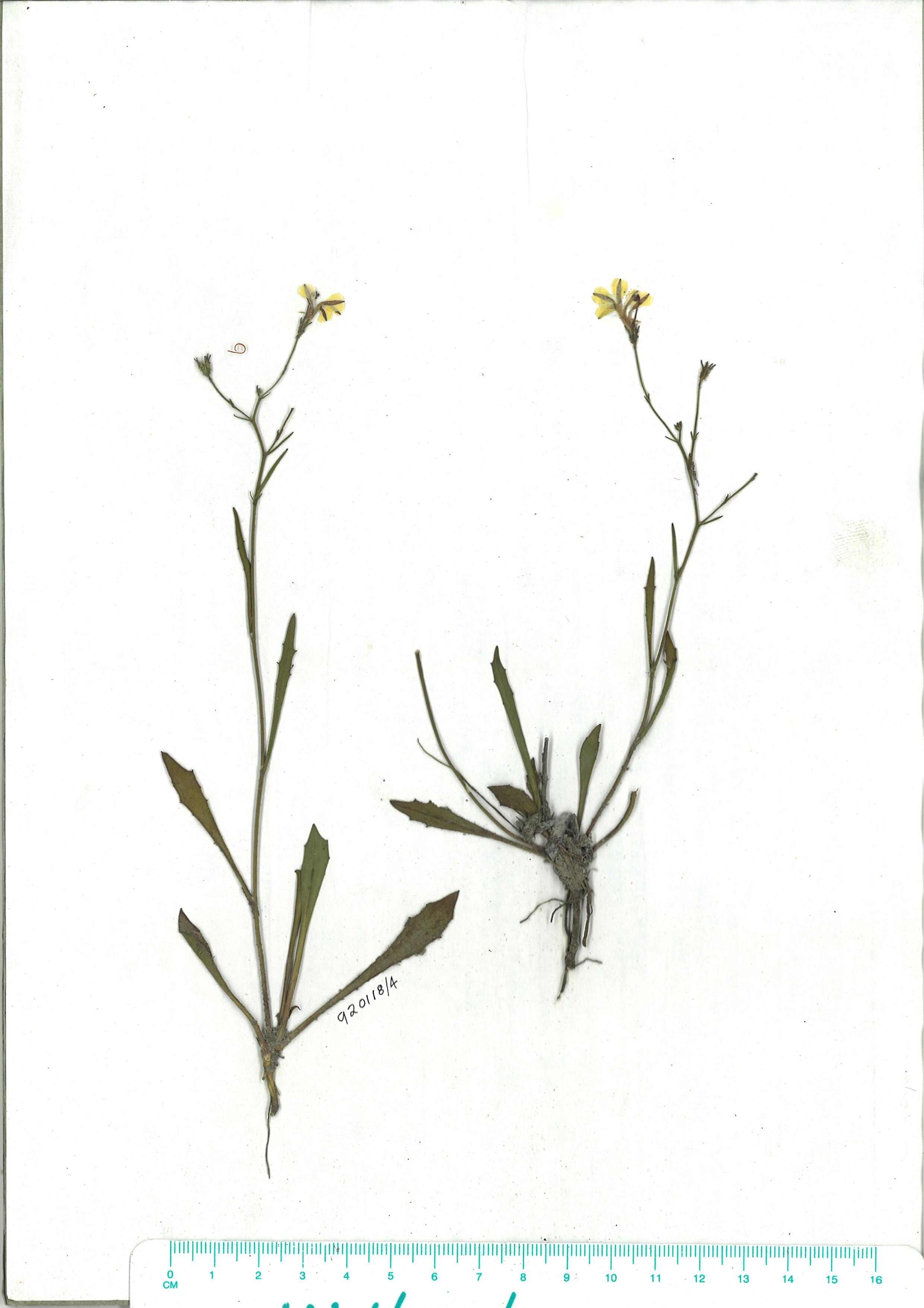Scanned herbarium image of Goodenia paniculata
