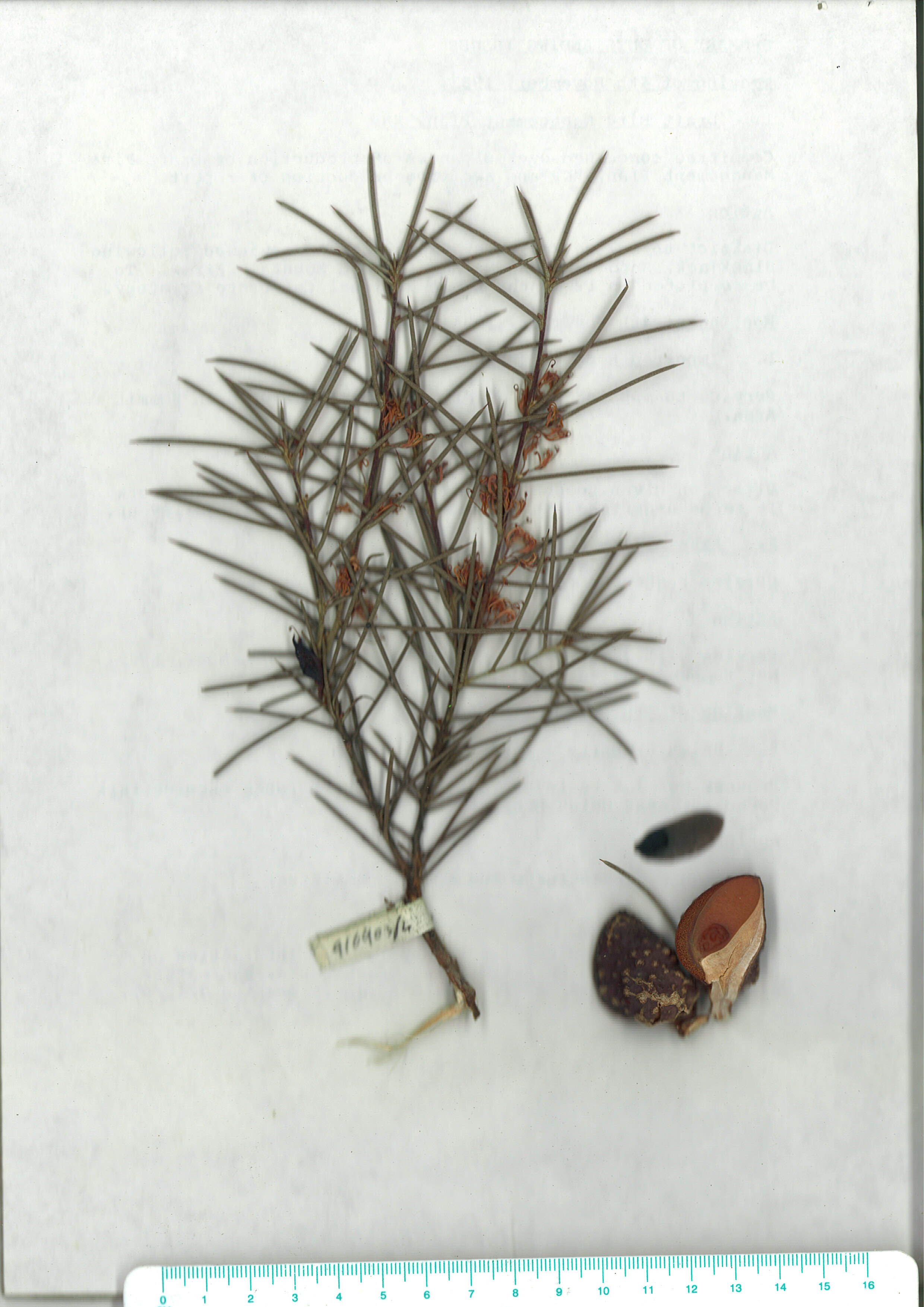 Scanned herbarium image of Hakea sericea