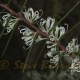 Image courtesy of Steve Burrows Hakea sericea