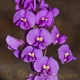 Image courtesy of Steve Burrows Hardenbergia violacea