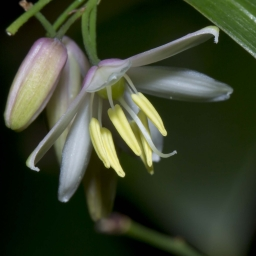 Image courtesy of Steve Burrows GeImage courtesy of Steve Burrows Geitonoplesium cymosumitonoplesium cymosum